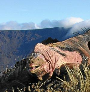 iguana-rosa