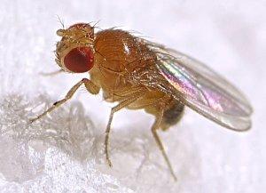 mosca-fruta