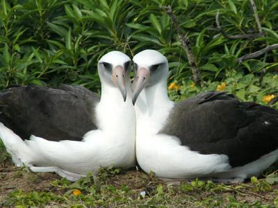 Dos hembras de albatros incuban juntas un polluelo
